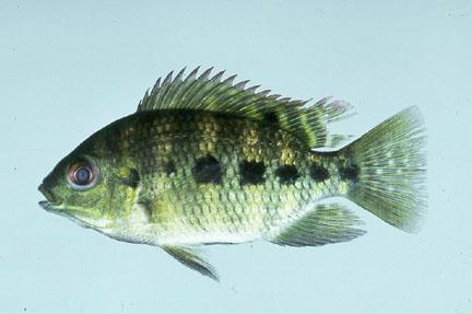 Tilapia raising tilapia freshwater fishpond backyard for What type of fish is tilapia
